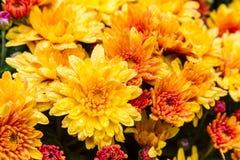 Crisantemos anaranjados y amarillos brillantes en la floración Fotografía de archivo