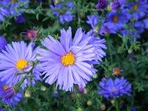 Crisantemos azules con las hojas verdes Foto de archivo libre de regalías