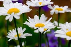 Crisantemos blancos de la madre Foto de archivo libre de regalías