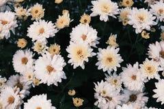 Crisantemos blancos florecientes Imagenes de archivo