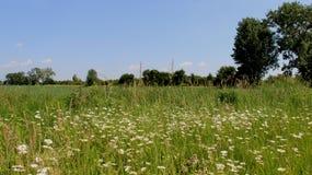 Crisantemos blancos florecientes con el campo de trigo joven Imagen de archivo libre de regalías