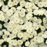 Crisantemos blancos inconsútiles Foto de archivo libre de regalías