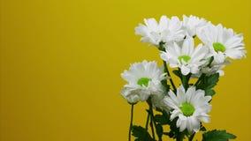 Crisantemos blancos que se trasladan al marco en un fondo amarillo Lugar para el texto Pare el movimiento almacen de metraje de vídeo