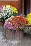 Crisantemos coloridos en potes de madera Imágenes de archivo libres de regalías