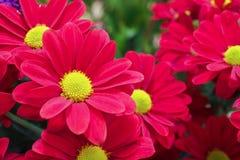 Crisantemos de color rojo oscuro Fotografía de archivo