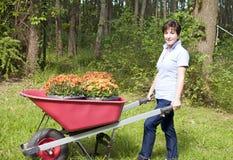 crisantemos de la carretilla de rueda de la mujer que cultivan un huerto Fotos de archivo