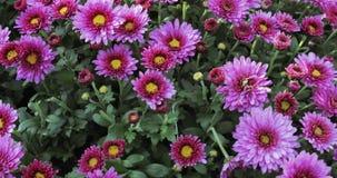 Crisantemos de la lila de las flores metrajes