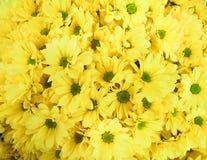 Crisantemos del amarillo del ofof del ramo Fotos de archivo libres de regalías