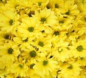 Crisantemos del amarillo del ofof del ramo Fotografía de archivo