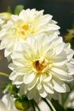 Crisantemos del jardín Imagen de archivo