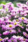 Crisantemos en jardín del verano Modelo floral outdoor Wildfield y publicaciones anuales de las flores imagenes de archivo
