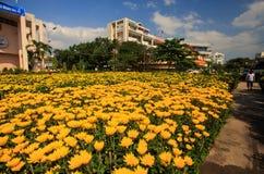 Crisantemos en potes en jardín por las casas en Vietnam Foto de archivo