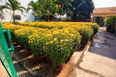 Crisantemos en potes en jardín por las casas en Vietnam Fotografía de archivo