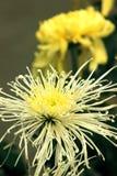 Crisantemos florecientes de la parte radial imagenes de archivo