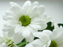 Crisantemos florecientes del blanco Fotografía de archivo