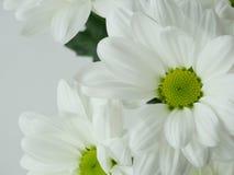 Crisantemos florecientes del blanco Imagen de archivo