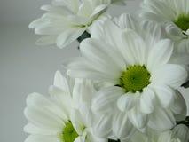 Crisantemos florecientes del blanco Foto de archivo