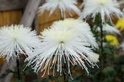 Crisantemos japoneses Imagenes de archivo