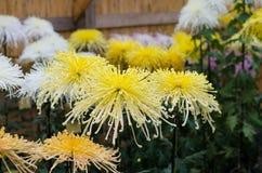 Crisantemos japoneses Fotografía de archivo