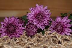Crisantemos púrpuras Imagen de archivo