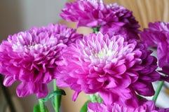 Crisantemos púrpuras hermosos imagen de archivo