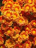 Crisantemos rojo-anaranjados brillantes Fotos de archivo