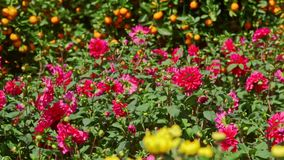 Crisantemos rojos amarillos del primer por los árboles de mandarín metrajes