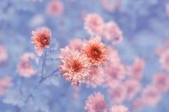 Crisantemos rojos delicados en un fondo azul con el shading Foco suave selectivo Imágenes de archivo libres de regalías