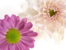 Crisantemos rosados fotos de archivo