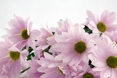 Crisantemos rosados. Fotografía de archivo