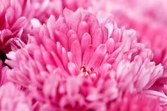 Crisantemos rosados Foto de archivo