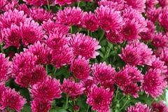 Crisantemos rosados Fotografía de archivo libre de regalías