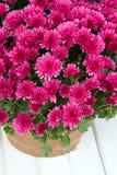 Crisantemos rosados Imagen de archivo