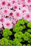 Crisantemos rosados con las plantas verdes Imágenes de archivo libres de regalías