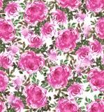 Crisantemos rosados en blanco Foto de archivo
