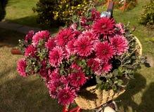 Crisantemos rosados en cesta de la bicicleta Fotografía de archivo libre de regalías