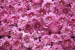 Crisantemos rosados hermosos Foto de archivo libre de regalías