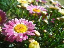 Crisantemos rosados y blancos Foto de archivo libre de regalías