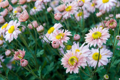 Crisantemos rosados y blancos Imagenes de archivo
