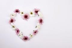 Crisantemos rosados y blancos apacibles Imágenes de archivo libres de regalías