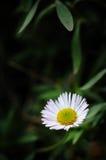 Crisantemos salvajes Imagenes de archivo
