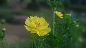 Crisanthimum Stockfotografie