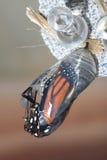 Crisálida del monarca Imágenes de archivo libres de regalías