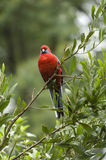 Crismon Rosella. Made in Australia. Rosella looking for the food stock images