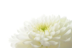 Crisântemo branco Fotografia de Stock