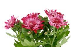 Crisântemo cor-de-rosa Imagens de Stock