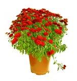 Crisol con los crisantemos rojos. Imagenes de archivo