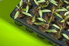 Crisol de la planta de semillero del tomate Fotografía de archivo