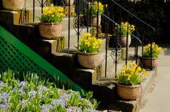 Crisoles con los narcisos en las escaleras Imagen de archivo