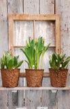 Crisoles del tulipán en ventana Fotografía de archivo